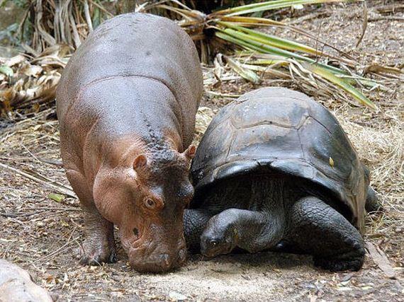 tortoise_hippo
