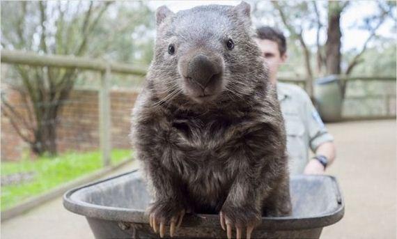wombat_01