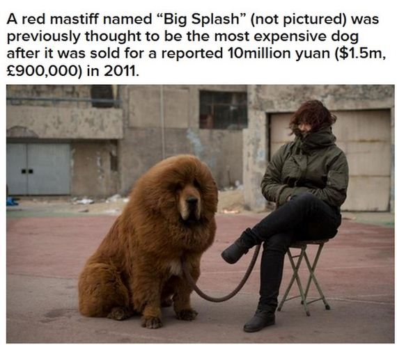 worlds_most_expensive_dog