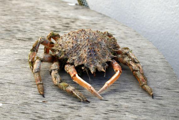 Crab-Shells