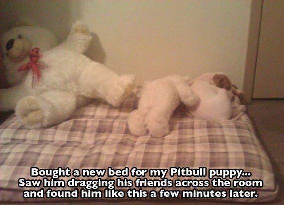 Cute-Funny-Pit-Bulls6