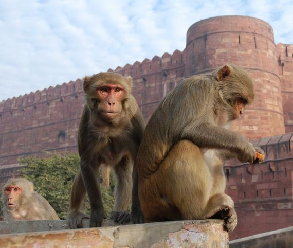 India-Monkeys-Are