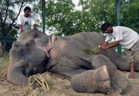 abused-elephant