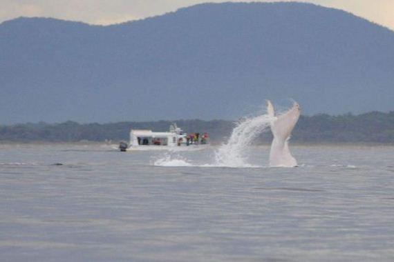 albino-whale