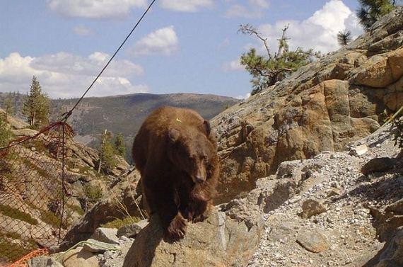 bear_rescue
