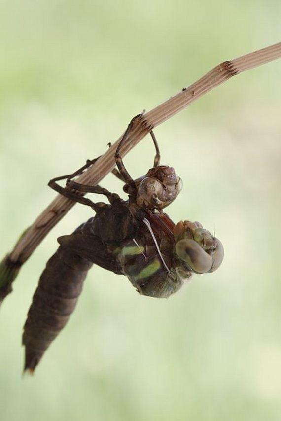 birth_dragonfly