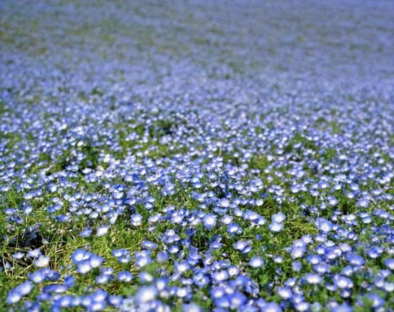 blue_flower_fields