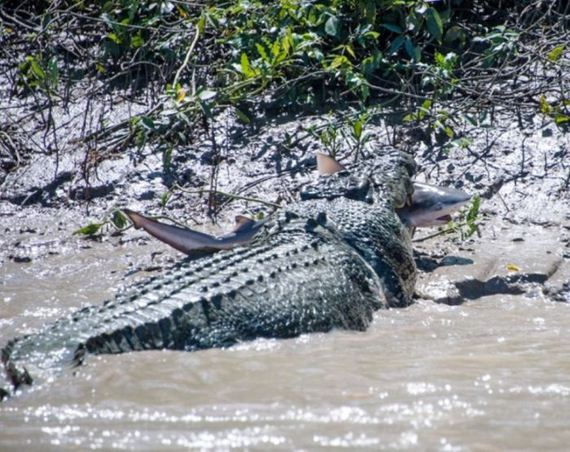 crocodile_fought_shark