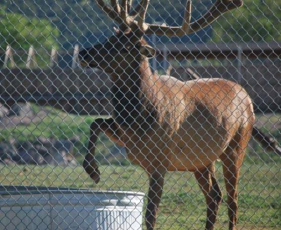 elk-saves-marmot