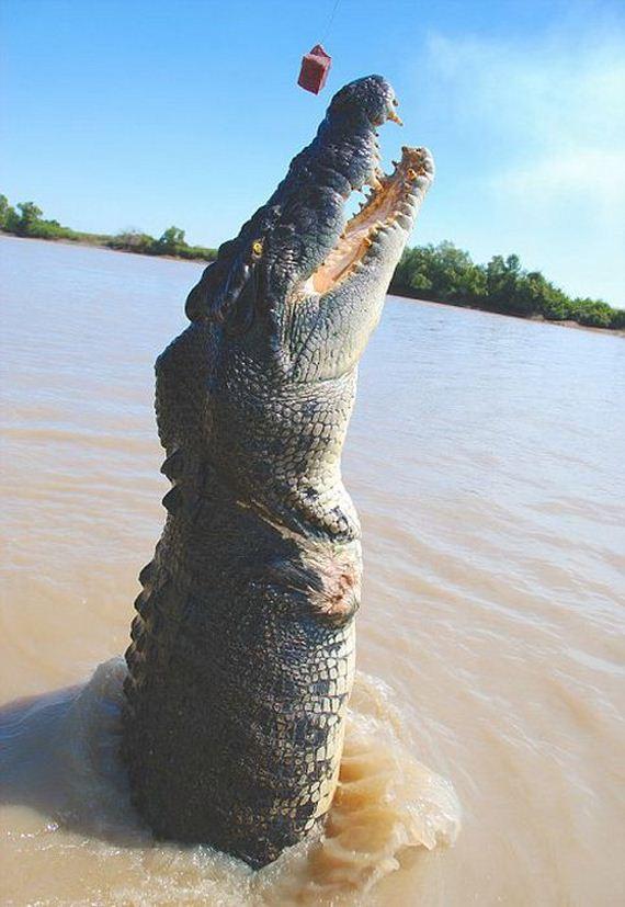 giant_croc
