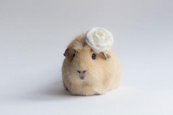 guinea-pig-booboo-lieveheersbeestje