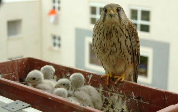 just_a_falcon
