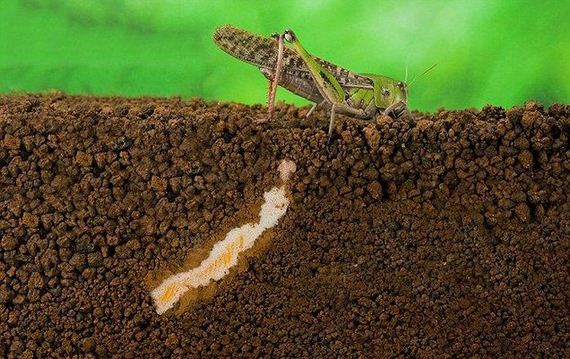 locust_laying_eggs