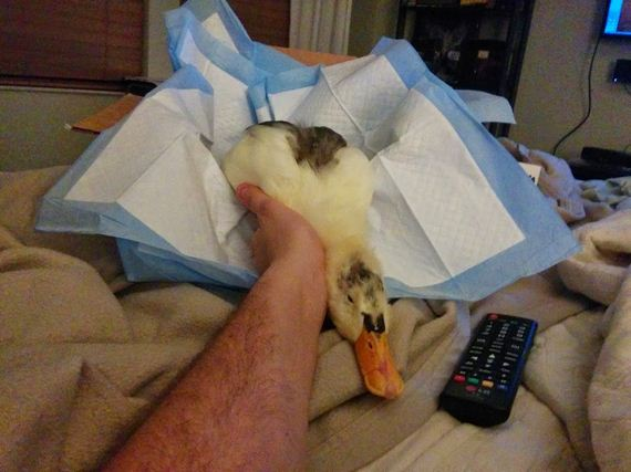 severely-wounded-duck