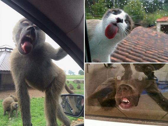 Animals-Adorably-Licking-Windows