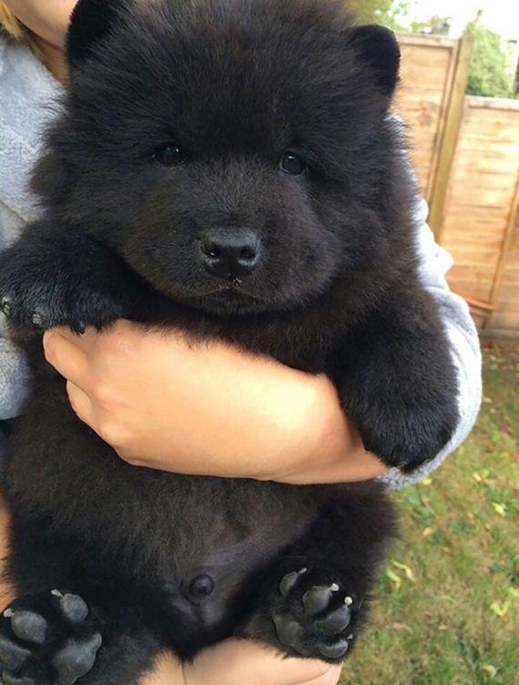 17 Chubby Puppies That Look Like Teddy Bears Barnorama