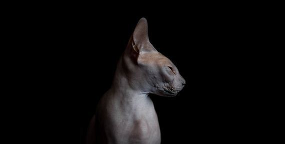 Sphynxes-beauty
