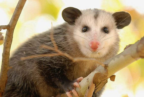 Times-Opossums-Were