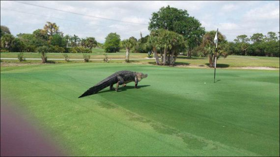 alligator_golf