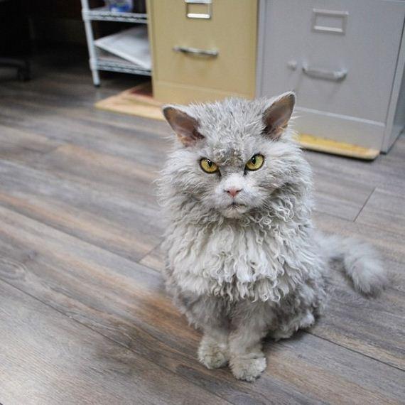 θυμωμένος-γάτα-πρόβατα