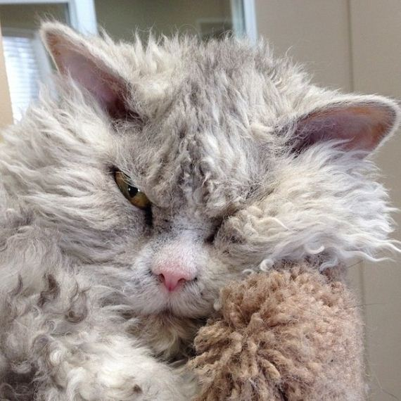 angry-cat-sheep