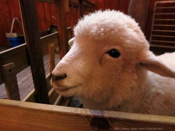 cafe-sheep