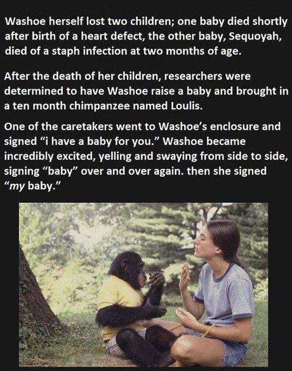 chimp_01