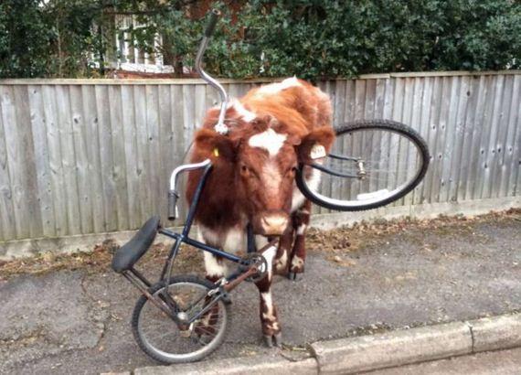 cow_got_bike