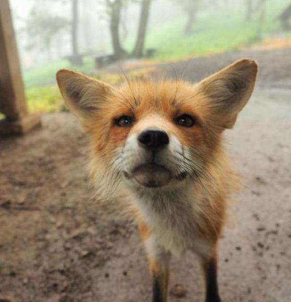 fox-japan-village