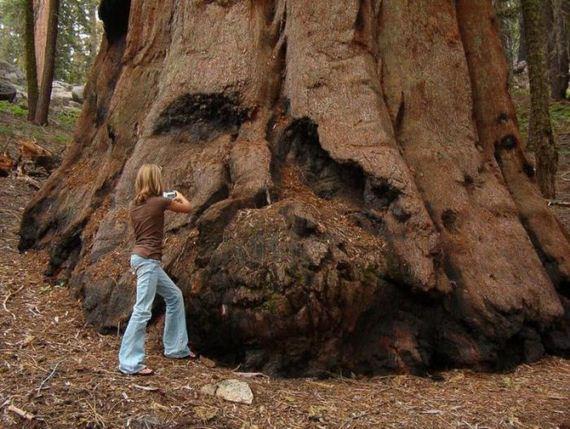 giant_tree