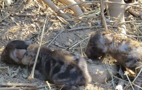 hyena-pup-rescue
