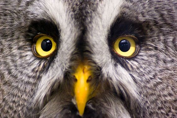 hypnosis-owl