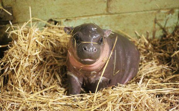 newborn_pygmy_hippo