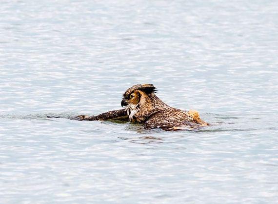 owl_can_swim