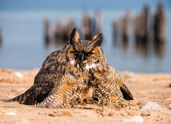 owl_can_swim-1