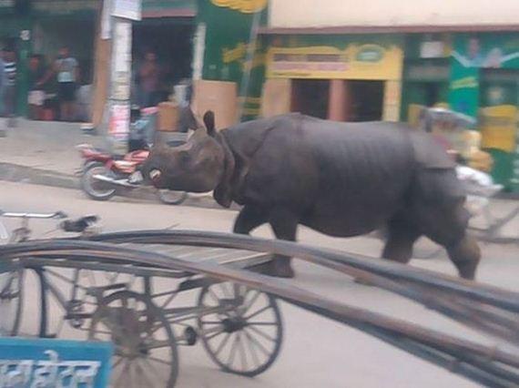 rhino_nepal