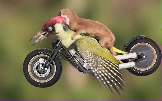 weasel_riding