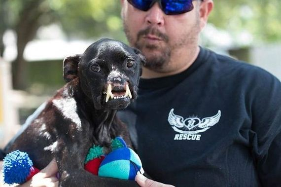 abused_pit_bull