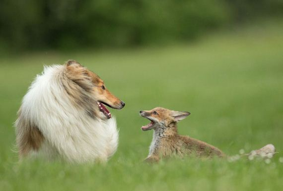adoption-cub-dog-fox