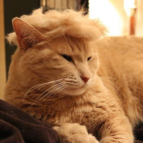 cats_with_trump_hair