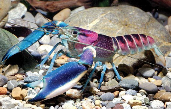 crayfish-galaxy-indonesia