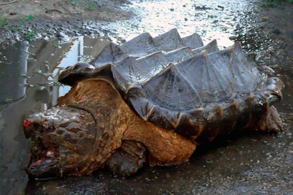 dinosaur-like-turtle-discovered