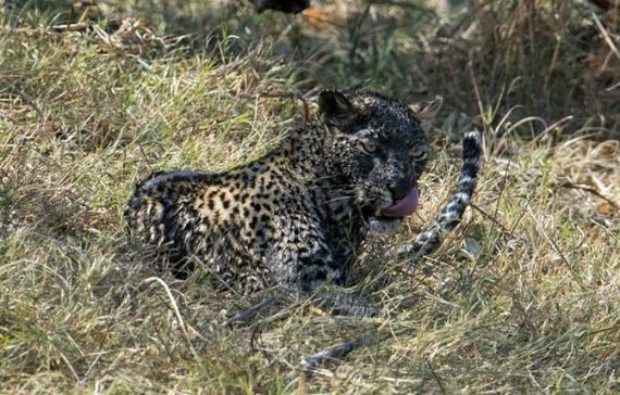 fishing_leopard