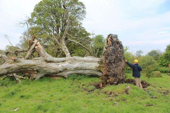 giant_tree_down