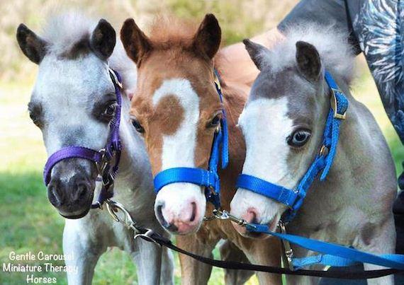 mini-horses-provide-therapeutic