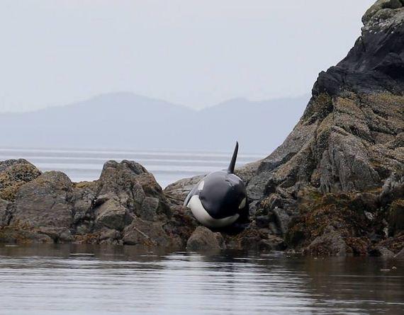 orca_saved