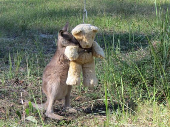 orphaned_kangaroo