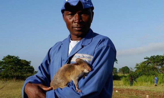 rats-in-africa-are-saving