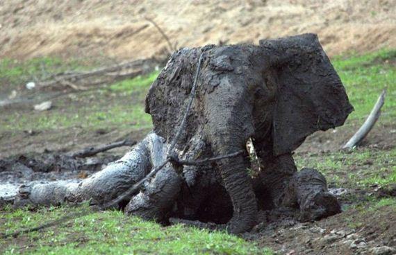 rescued_elephant