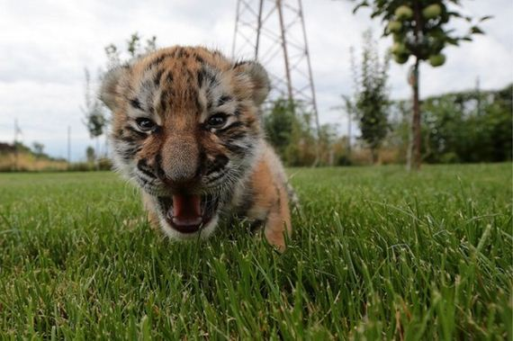 tiger_cub_dogs
